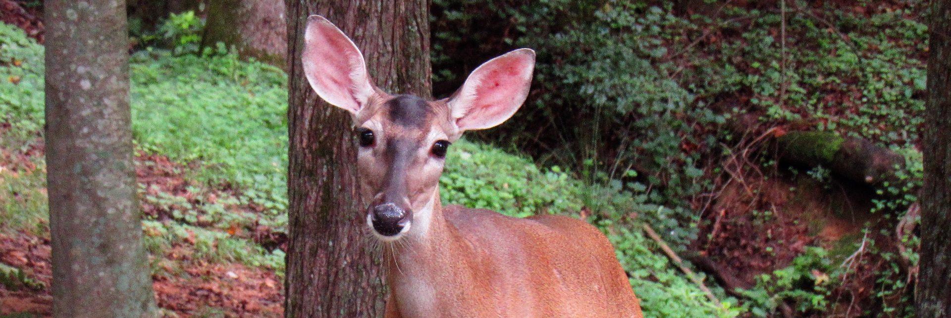 Deer-Diary